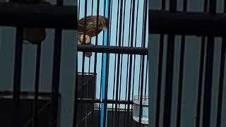 Burung Kenari paud jantan ngriwek
