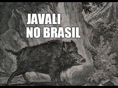 A História do Javali no Brasil - YouTube