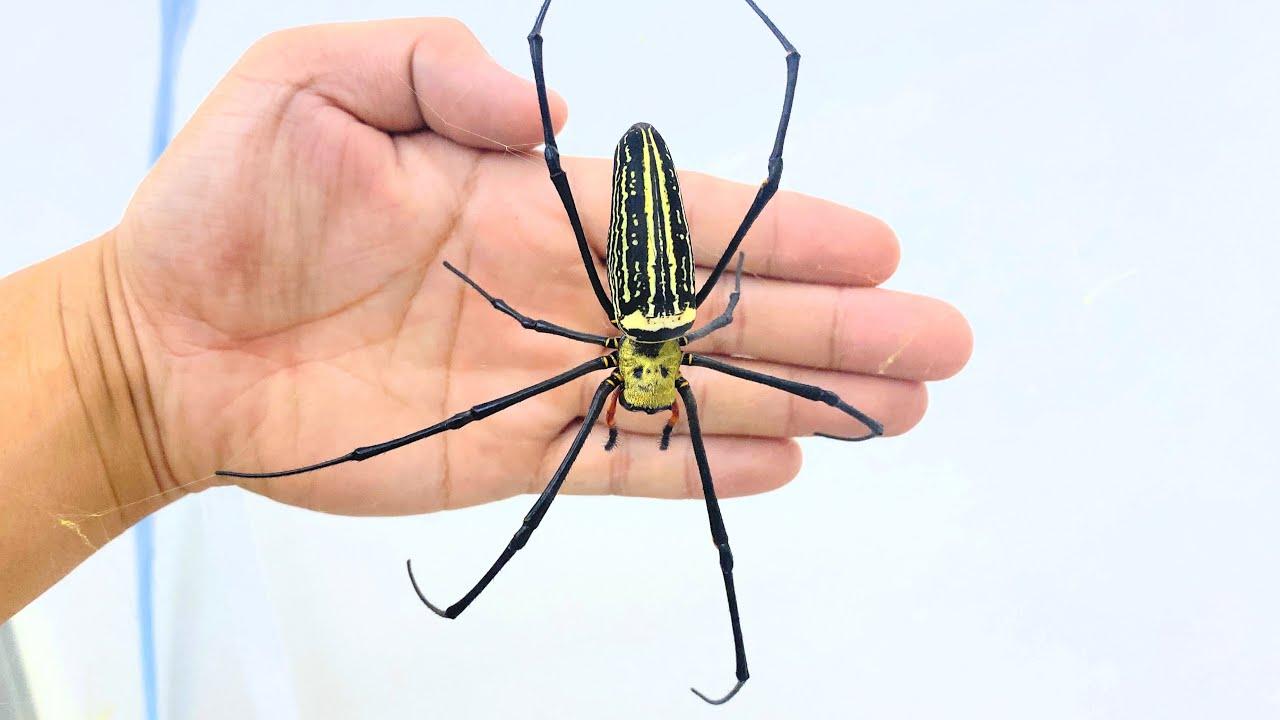 日本最大のクモを飼ってみる