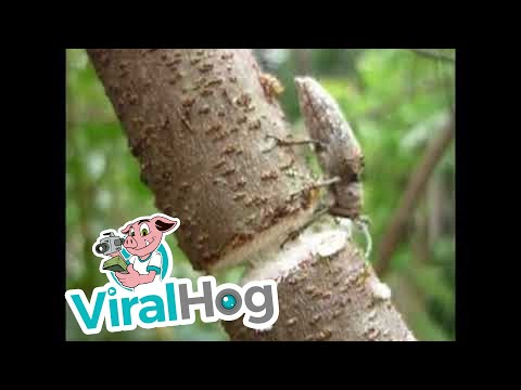 Beetle Chews Through Branch || ViralHog