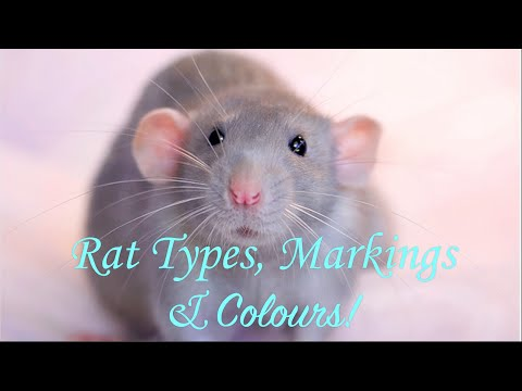 Rat Types, Markings & Colours!