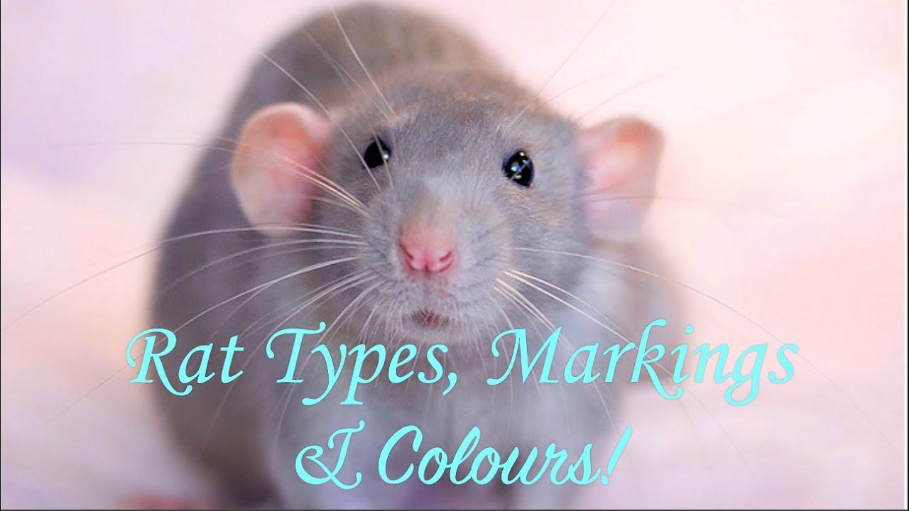rat types markings u0026 colours youtube
