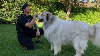 Wally's 1/2 HR Workout | Great Pyrenees | Ramona