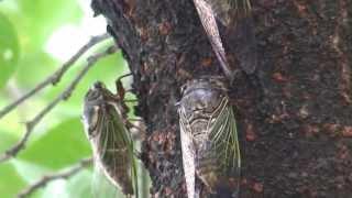 近くの公園の大木に今年も数多くの「クマゼミ」の 集団が元気よく鳴いて...
