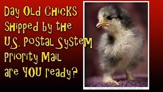 Day Old Baby Chicks, in the mail...  what to do when they arrive, TIME is critical!