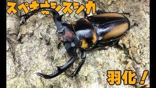 【復活!】スペキオススシカクワガタの羽化 Rhaetulus crenatus speciosus 【Part1:羽化・計測編】