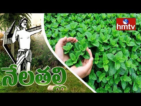 Success Story Of Natural Farming In Mint Cultivation by  Kadapa Farmer | Nela Talli | HMTV