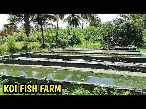 Koi Fish Farm Visit 2020   Packing Thousand Of Koi Fish