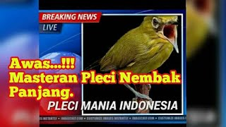 Video Awas...!!! Masteran Pleci Nembak Panjang download MP3, 3GP, MP4, WEBM, AVI, FLV Februari 2018