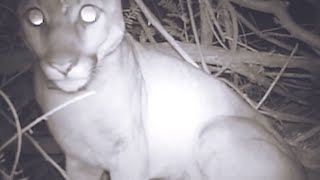 Bio-logging collar reveals unprecedented detail about California mountain lions - Science Nation