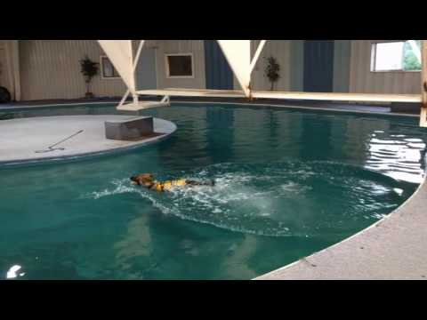 Gusto von Prufenpuden 7 Mo's Swimming Lessons Conditioning The Super German Shepherd