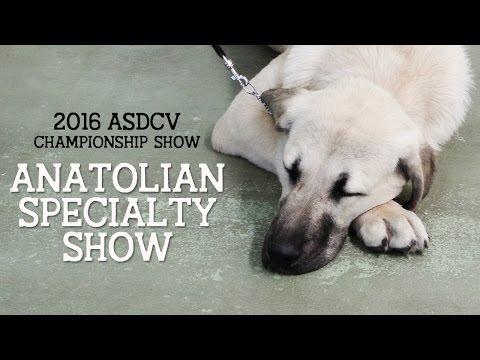 2016 Anatolian Shepherd Speciality Show - ASDCV
