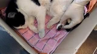 Сбитый автомобилем котёнок, сломана лапа, тазобедренная кость,рваная рана,  оказание первой помощи!