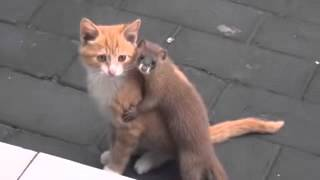 Kitten and baby weasel are pals
