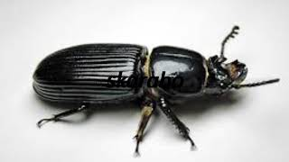 How to say beetle in Esperanto