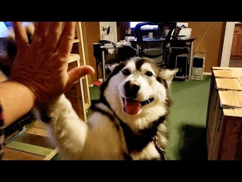 How Easy Can Alaskan Malamutes Train Their People????