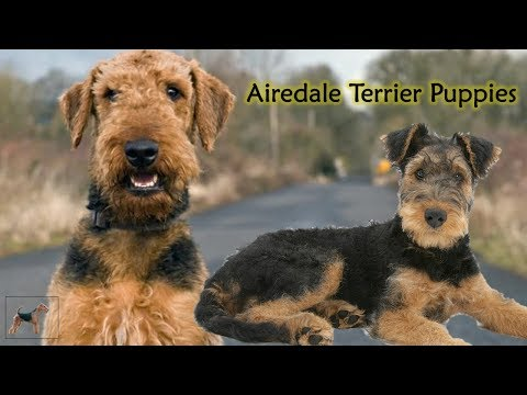 Dog Facts and Information : Airedale Terrier Puppies