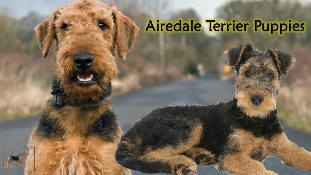 Dog Facts and Information : Airedale Terrier Puppies  FunnyDog.TV