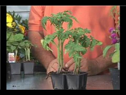 Growing Vegetables : Growing Patio Tomatoes