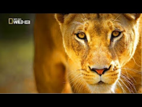Executive Africa   Wild Leopard Hunter New HD Documentary 2017#10