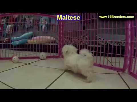 Maltese, Puppies, Dogs, For Sale, In Miami, Florida, FL, 19Breeders, Tallahassee, Gainesville