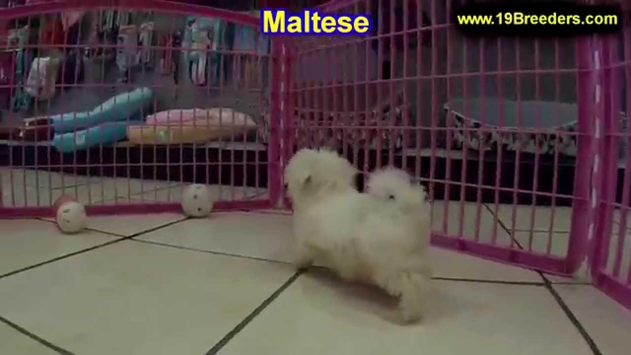 Maltese, Puppies, Dogs, For Sale, In Miami, Florida, FL ...