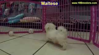 Maltese, Puppies, For, Sale, In, Jacksonville,florida, Fl,tallahassee,gainesville,