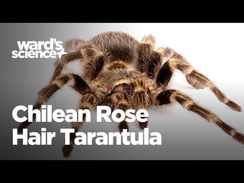 Critters in the Classroom: Insect Edition - Chilean Rose Hair Tarantula