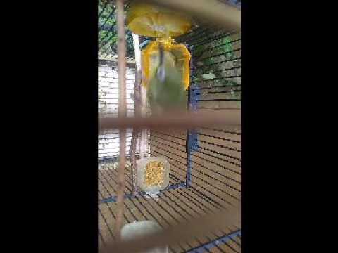 pancingan pleci/kacial lombok macet bunyi