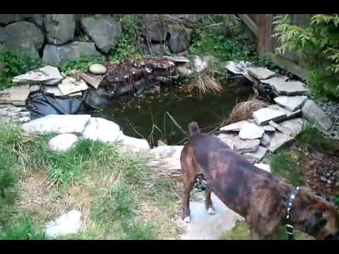 700 gallon koi shubunkin homemade fish pond in backyard for Koi pond gallons
