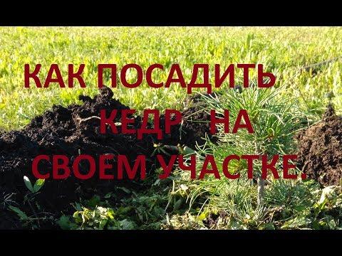 Как посадить кедр на своем участке.
