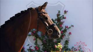OL mare by Sir Donnerhall I x Landadel FOR SALE