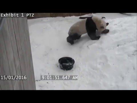 Панда устроила  битву со своей  миской