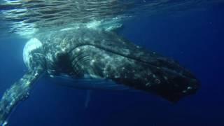 Umberto Pelizzari dancing with the humpback whales