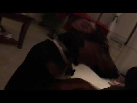 Bailey the Beagleman Beagle Doberman rescue puppy dog so cute!