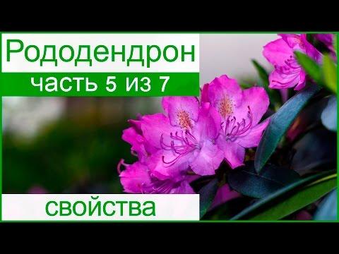 Лекарственные свойства рододендрона, уход после цветения