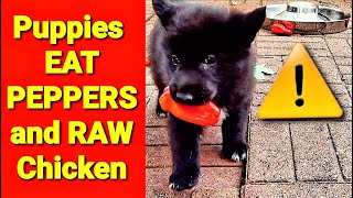 Puppies Eat Peppers RAW Chicken  5 Week Old Lycan Shepherds