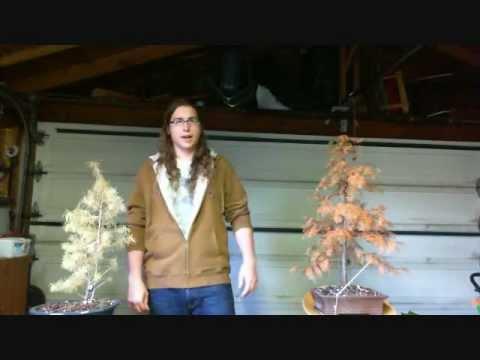 фото conifers