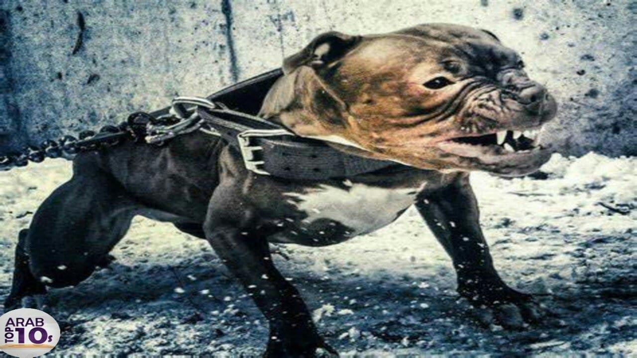 أخطر وأقوى الكلاب في العالم 2019 , إذا رأيتها اهرب وانج بحياتك