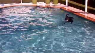 Shanti (black Lab Mix) & Xena (siberian Husky) Swimming Together