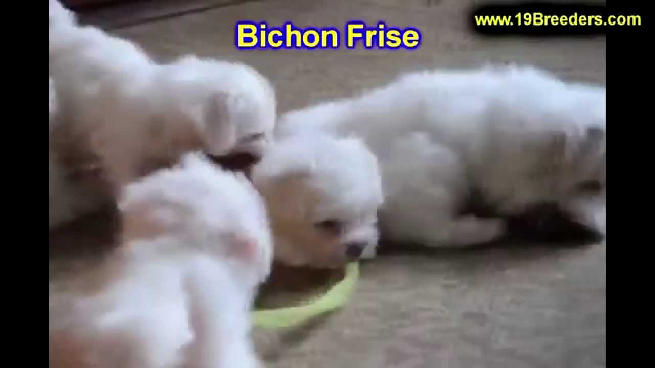 Bichon Frise, Puppies, Dogs, For Sale, In Montgomery, Alabama, AL,  19Breeders, Hoover, Auburn