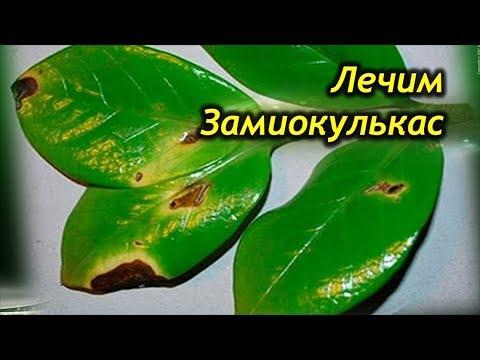 Заболевания  Замиокулькаса. Лечим Долларовое Дерево от болезней!