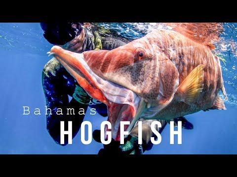 Spearfishing Hogfish With Hawaiian Sling