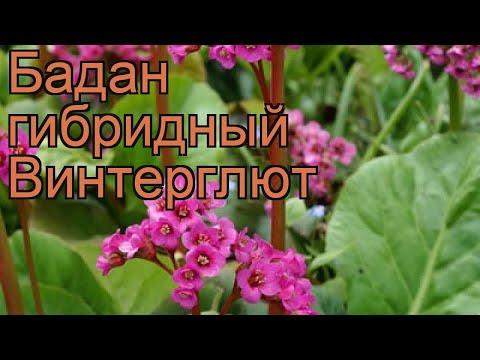 Бадан гибридный Винтерглют (bergenia gibrida) �� обзор: как сажать, рассада бадана Винтерглют