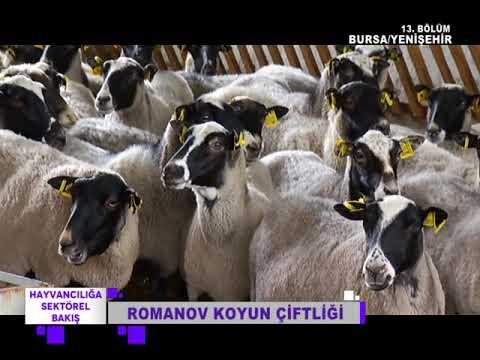HAYVANCILIĞA SEKTÖREL BAKIŞ 13  BÖLÜM YENİŞEHİR ROMANOV KOYUN ÇİFTLİĞİ