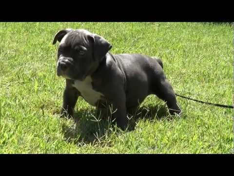Extreme XL Pocket Blue bully pit bull pup SUPERSTAR female @ 6 weeks