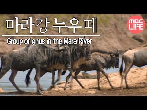 Group of gnus in the Mara River - Wildlife in Serengeti EP02, #07, 마라강가 누우떼