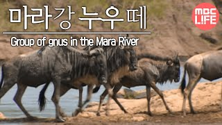 Group of gnus in the Mara River - Wildlife in Serengeti EP02, #07, 마라강가 누우떼