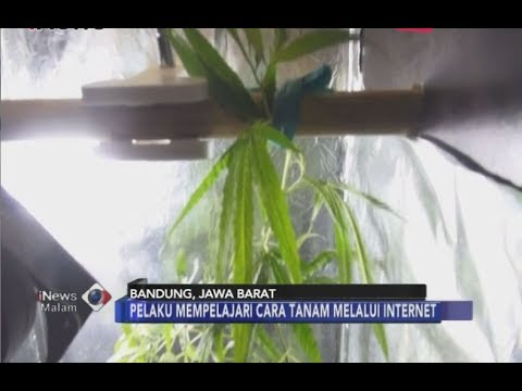 Tanam Ganja di Dalam Lemari Kos, Mahasiswa di Bandung Dibekuk Polisi - iNews Malam 06/07