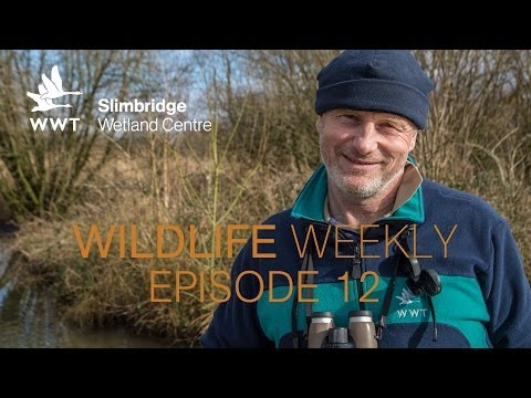 Wildlife Weekly Slimbridge - Episode 12